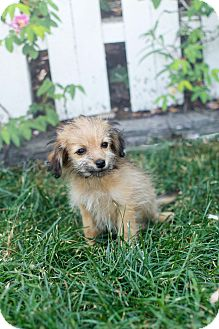 Yorkie, Yorkshire Terrier/Dachshund Mix Puppy for adoption in Auburn, California - Lily