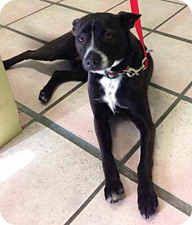 Cattle Dog Mix Dog for adoption in Newburgh, Indiana - Weebles