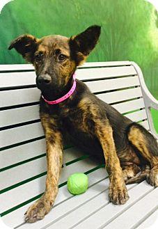 Dutch Shepherd Mix Puppy for adoption in Hagerstown, Maryland - LOLA