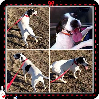 German Shorthaired Pointer Mix Dog for adoption in Garber, Oklahoma - Mollie