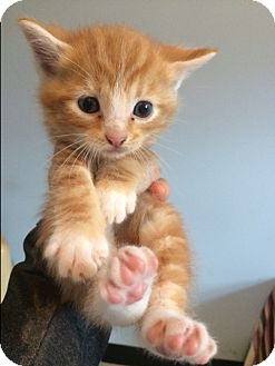 Domestic Shorthair Kitten for adoption in Dumfries, Virginia - Henry