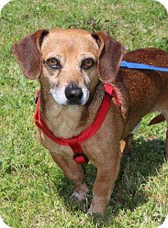 Dachshund Mix Dog for adoption in Grants Pass, Oregon - Zuma