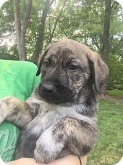 Mastiff/Labrador Retriever Mix Puppy for adoption in Livonia, Michigan - D2 Litter-Gladys Layla-ADOPTED