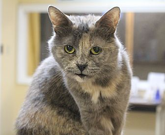 Domestic Shorthair Cat for adoption in Wilmington, Delaware - Chassie