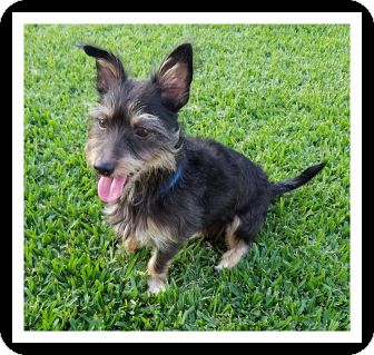 Terrier (Unknown Type, Small)/Yorkie, Yorkshire Terrier Mix Dog for adoption in Winchester, California - PEE WEE