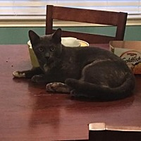 Domestic Mediumhair Cat for adoption in Spring, Texas - Blue