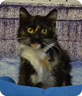 Domestic Longhair Kitten for adoption in Lebanon, Missouri - Polly