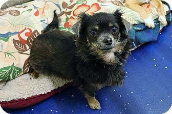 Chihuahua Mix Dog for adoption in Rockwall, Texas - Cinder