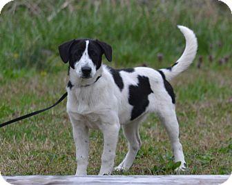 Pointer Mix Puppy for adoption in Lebanon, Missouri - Jan