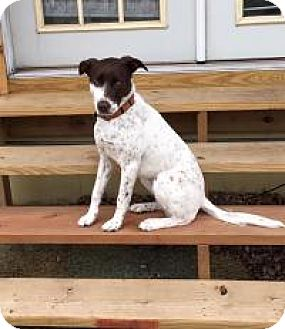Pointer/Spaniel (Unknown Type) Mix Dog for adoption in Prior Lake, Minnesota - Lucy