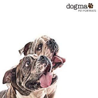 English Bulldog Dog for adoption in Santa Ana, California - Fiona & Shrek