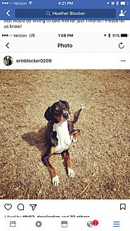 Black and Tan Coonhound/Greyhound Mix Dog for adoption in Jacksonville, Florida - Boss