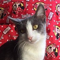 Domestic Shorthair Cat for adoption in Santa Monica, California - EDWARD