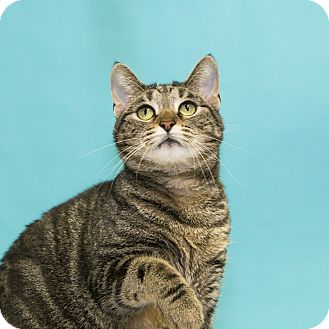 Domestic Shorthair Cat for adoption in Houston, Texas - Bunny