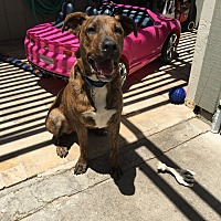 American Pit Bull Terrier/Labrador Retriever Mix Puppy for adoption in Encinitas, California - Diego