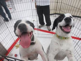 American Pit Bull Terrier Mix Dog for adoption in Beaumont, Texas - Archie