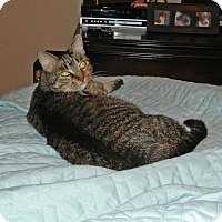 Domestic Shorthair Cat for adoption in ROWLETT, Texas - Sophie