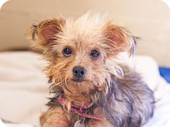 Yorkie, Yorkshire Terrier Mix Dog for adoption in Marble Falls, Texas - YaYa