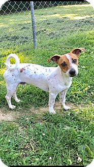 Jack Russell Terrier/Chihuahua Mix Dog for adoption in WAGONER, Oklahoma - Nutter Butter