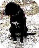 Labrador Retriever/Anatolian Shepherd Mix Puppy for adoption in Cabool, Missouri - Zeus