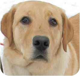 Labrador Retriever/Golden Retriever Mix Dog for adoption in Kansas City, Missouri - Courtesy List-Canelo