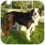 Photo 3 - Border Collie Dog for adoption in Overland Park, Kansas - Dakota