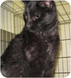 Domestic Shorthair Cat for adoption in Stillwater, Oklahoma - Zachary