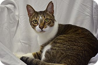 Domestic Shorthair Cat for adoption in Deerfield Beach, Florida - Romeo