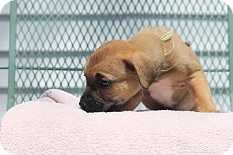 Boxer Puppy for adoption in ARDEN, North Carolina - Sophia