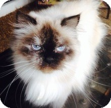 Himalayan Cat for adoption in Miami, Florida - Tootsie