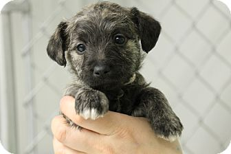 Poodle (Miniature)/Miniature Pinscher Mix Puppy for adoption in Hibbing, Minnesota - BECKA