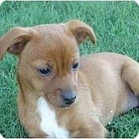 Adopt A Pet :: Penny - Arlington, TX