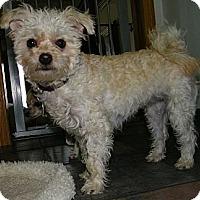 Adopt A Pet :: Chi Chi - Mt Gretna, PA
