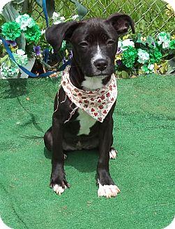Labrador Retriever Mix Puppy for adoption in Marietta, Georgia - SHEBA - adopted @ off-site