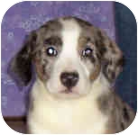 Australian Shepherd/Catahoula Leopard Dog Mix Dog for adoption in Murphysboro, Illinois - Lemondrop