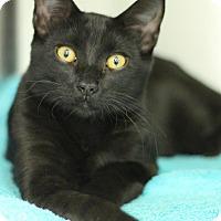 Adopt A Pet :: Gambino - Sacramento, CA