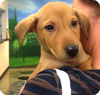 Labrador Retriever Mix Puppy for adoption in Eden Prairie, Minnesota - Tigger