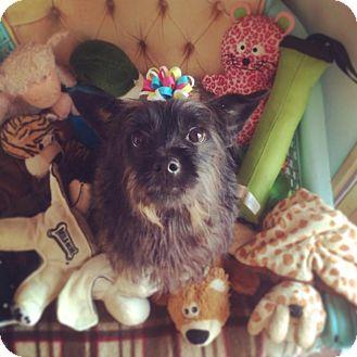 Schnauzer (Miniature)/Scottie, Scottish Terrier Mix Dog for adoption in Seattle, Washington - Trudie