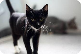 Domestic Shorthair Kitten for adoption in Astoria, New York - Lee
