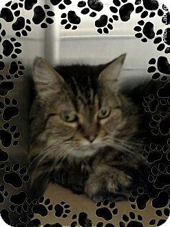 Maine Coon Cat for adoption in Pueblo West, Colorado - Miss Gracie
