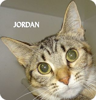 Domestic Shorthair Cat for adoption in Lapeer, Michigan - JORDAN-BRIGHT EYED! FEE WAIVED