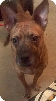 Pit Bull Terrier/Chihuahua Mix Dog for adoption in Greensboro, North Carolina - Bristle