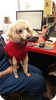 Poodle (Miniature) Dog for adoption in Sierra Vista, Arizona - Milo
