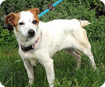 Jack Russell Terrier Dog for adoption in Batavia, Ohio - Spirit