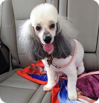 Poodle (Miniature) Dog for adoption in Melbourne, Florida - MADELINE