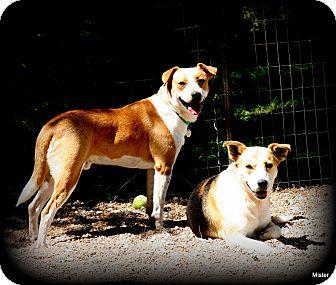 Labrador Retriever/Boxer Mix Dog for adoption in O Fallon, Illinois - Bourbon & Clara