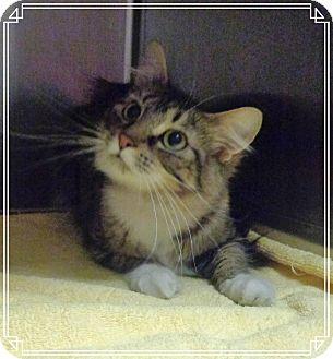 Domestic Shorthair Cat for adoption in Marietta, Georgia - TINKER BELL (R)