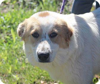 Great Pyrenees/Australian Shepherd Mix Dog for adoption in Liberty Center, Ohio - Ella
