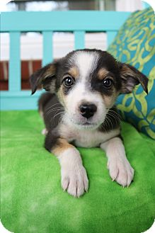 Beagle/Pomeranian Mix Puppy for adoption in Allentown, Pennsylvania - Callen