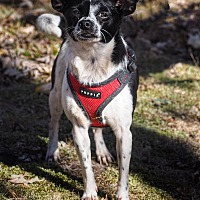 Adopt A Pet :: Snoopy - Conyers, GA